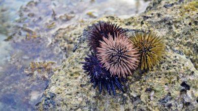 Oursins - les piquants de la mer