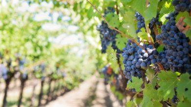 coronavirus : les vignerons indépendants à la peine